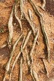 Nette wortels royalty-vrije stock afbeelding