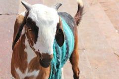 Nette Ziegen-tragende Strickjacke Lizenzfreie Stockfotos