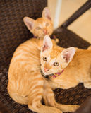 Nette zwei shorthair Kätzchen, die neugierig entlang des Menschen anstarren Lizenzfreies Stockbild