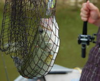 Netted bass Stock Photos