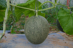 Netted melon Stock Photo