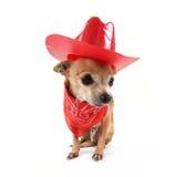 Netten Chihuahua Lizenzfreie Stockbilder