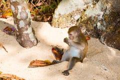 Netter Affe auf Tioman-Insel Lizenzfreies Stockfoto
