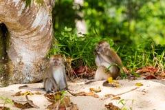 Netter Affe auf Tioman-Insel Stockfoto