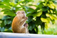 Netter Affe auf Tioman-Insel Lizenzfreie Stockfotos