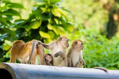 Netter Affe auf Tioman-Insel Lizenzfreie Stockfotografie