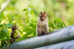 Netter Affe auf Tioman-Insel Lizenzfreie Stockbilder
