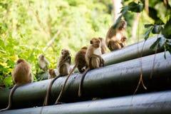 Netter Affe auf Tioman-Insel Stockbild