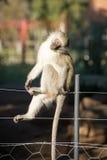 Netter Affe auf Zaun Stockfotografie