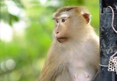 Netter Affe 'bezüglich des Betrachtens etwas Stockfoto