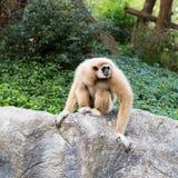 Netter Affe, der auf dem Stein sitzt Lizenzfreie Stockbilder