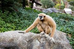Netter Affe, der auf dem Stein sitzt Stockfotos