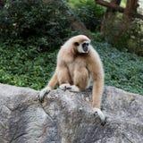 Netter Affe, der auf dem Stein sitzt Stockfotografie