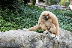 Netter Affe, der auf dem Stein sitzt Lizenzfreie Stockfotos