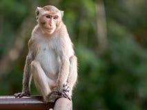 Netter Affe, der auf dem Zaun sitzt Lizenzfreie Stockfotos