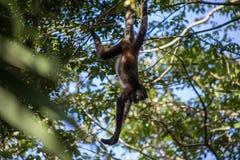 Netter Affe, der in den Bäumen im Dschungel an einem heißen Sommertag hängt Stockfotos