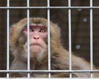 Netter Affe, der hinter Gittern im Käfig sitzt Stockfotos