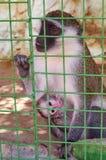 Netter Affe, der im Käfig auf Bauernhof sitzt Lizenzfreie Stockbilder
