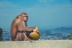 Netter Affe, der Kokosnuss isst Lizenzfreies Stockbild