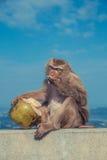 Netter Affe, der Kokosnuss isst Stockfotos
