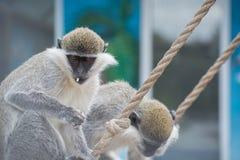 Netter Affe, der Popcorn isst Stockfotografie