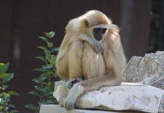 Netter Affe des weißen Gibbons Stockfotografie