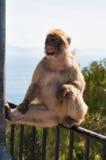 Netter Affe in Gibraltar Lizenzfreies Stockfoto