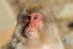 Netter Affe in Japan Lizenzfreie Stockfotos