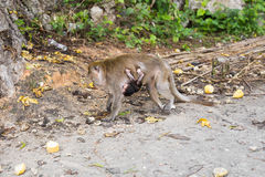 Netter Affe lebt in einem Naturwald von Thailand Stockbild
