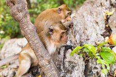 Netter Affe lebt in einem Naturwald von Thailand Lizenzfreie Stockbilder