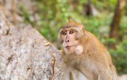 Netter Affe lebt in einem Naturwald von Thailand Stockfotografie