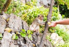 Netter Affe lebt in einem Naturwald von Thailand Stockfoto