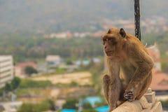Netter Affe sitzt auf dem Grenzzaun des Tempels mit Stockfotografie