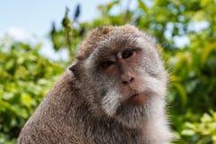 Netter Affe an Uluwatu-Tempel auf dem Süden von Bali-Insel Stockfotografie