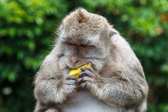 Netter Affe an Uluwatu-Tempel auf dem Süden von Bali-Insel Lizenzfreie Stockfotografie