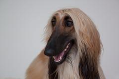 Netter Afghane lokalisiert auf grauem Hintergrund Ostwindhund oder persischer Windhund Stockfoto