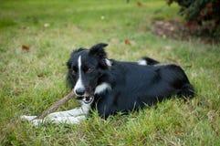 Netter aktiver Schwarzweiss-Hund, der auf grünem Gras liegt und einen Stock während des heißen Sommertages zerfrisst stockbilder