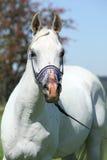 Netter arabischer Stallion mit blauem Show Halter Stockbild