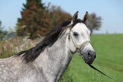 Netter arabischer Stallion mit Show Halter Lizenzfreies Stockfoto