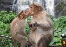 Netter Baby-Affe-Kuss-Mutter-Affe lizenzfreies stockbild