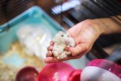 Netter Baby-dreifarbiger weiblicher exotischer Winter-weißer zwergartiger Hamster, der bequem in der Inhaberpalmenhand im Käfig l stockfotografie
