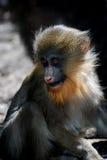 Netter Baby-Mandrill-Affe-oben Abschluss und persönlich Stockbilder