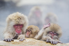Netter Baby-Schnee-Affe, der in Dampf wellenartig bewegt Lizenzfreie Stockbilder