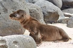 Netter Baby-Seelöwe auf Strand mit Felsen in Galapagos lizenzfreies stockbild