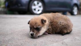 Netter Babyhund, der auf dem Boden vor Auto liegt und neugierig, konzentriert auf seine Augen, 4K Film, Zeitlupe schaut stock video footage