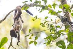 Netter Babymaki, der auf einem Niederlassungsbaum spielt Lizenzfreies Stockbild