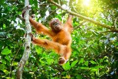 Netter Babyorang-utan, der auf Baum im exotischen Regenwald Sumatr stillsteht Stockbilder