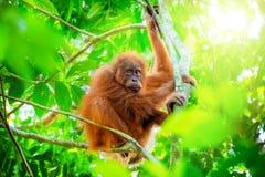 Netter Babyorang-utan, der am Baum im exotischen Regenwald Sumatra, Indonesien hängt Lizenzfreie Stockbilder