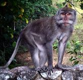 Netter Balineseaffe Stockfotografie