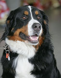 Netter Berner Hund 4 Lizenzfreies Stockfoto